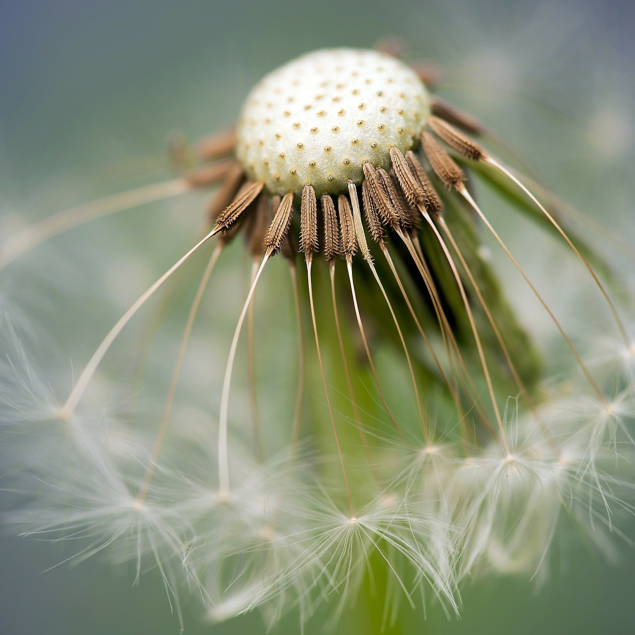 common-dandelion-335662_1920