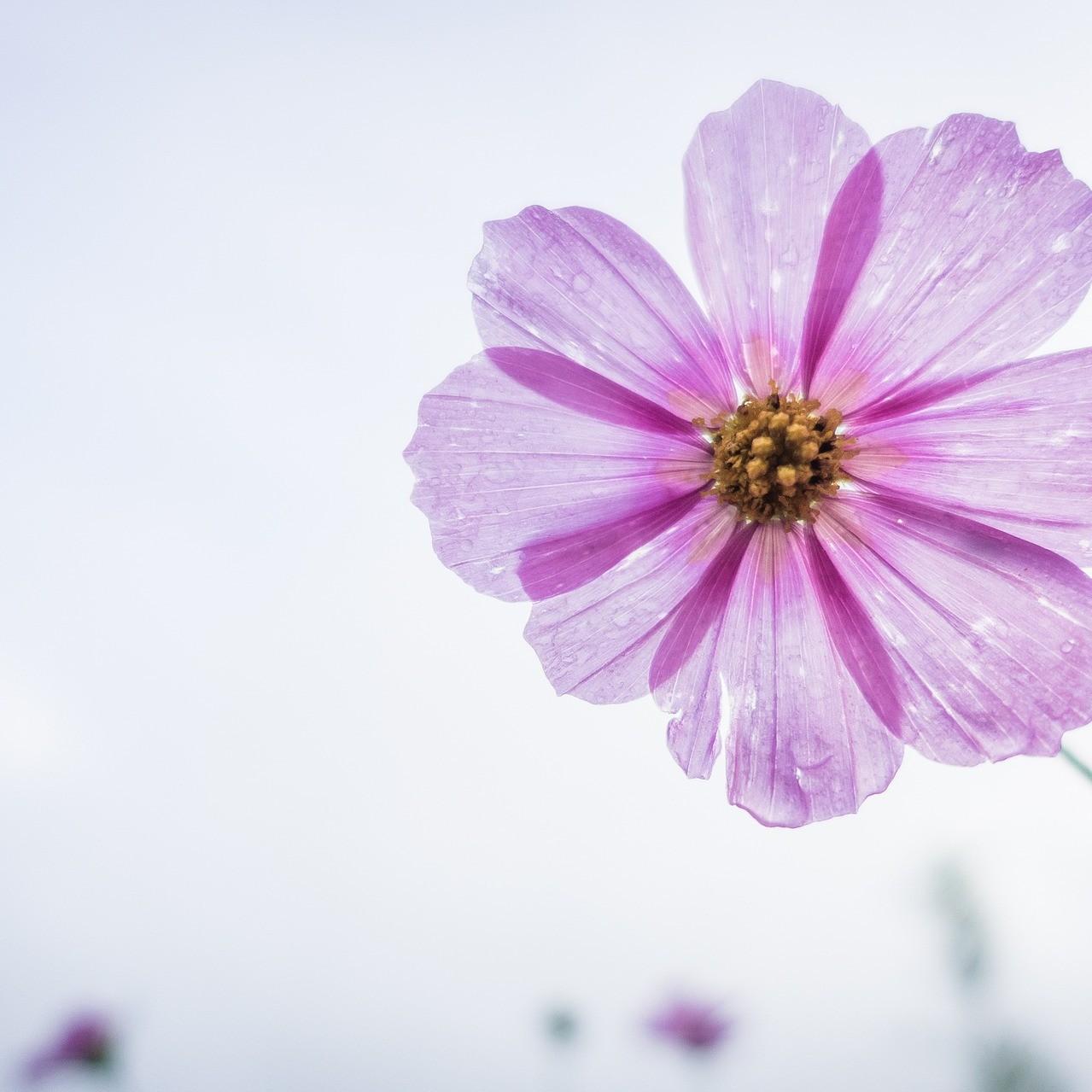 cosmos-flower-1712177_1920